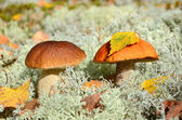Two edible mushrooms — Stock Photo