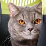 Постер, плакат: British Shorthair cat