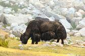 Tibetan yak — Stock Photo