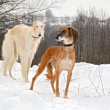 Stock Photo: Hunting dogs on snow