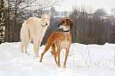 Hunting dogs on snow — Stock Photo
