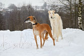 Two hunting dogs — Stock Photo