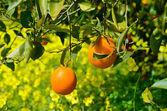 Naranjas en un árbol — Foto de Stock