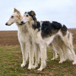 Two russian wolfhounds — ストック写真