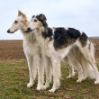 Two russian wolfhounds — 图库照片