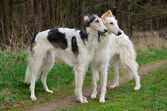 Two russian wolfhounds — Stock Photo