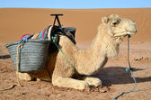 Dromedary in Sahara — Stock Photo