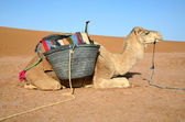 White dromedary — Stock Photo