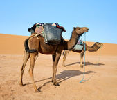 两个骆驼 — 图库照片