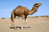 Brown dromedary  — Stock Photo