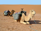 Camels in desert — Stock Photo