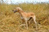 Kazakh greyhound Tazi — Stock Photo