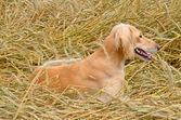 Kazakh greyhound — Stock Photo