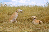 Two Kazakh greyhounds — Stock Photo