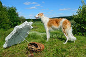 Young russian wolfhound — Stock Photo