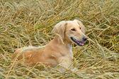 Kazakh greyhound Tazi — Stok fotoğraf