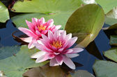 Floating water lilly flowers — Stock Photo