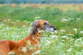 Brown Saluki — Stock Photo
