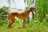 Kazakh greyhound Tazi — Stock Photo