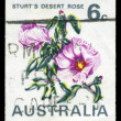 Royalty-Free Stock Photo: AUSTRALIA - CIRCA 1968 Desert Rose