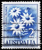 AUSTRALIA - CIRCA 1959 Flannel Flower — Stock Photo