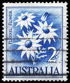 AUSTRALIA - CIRCA 1959 Flannel Flower — Stock Photo