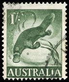 AUSTRALIA - CIRCA 1960 Platypus — 图库照片