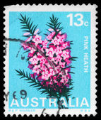 AUSTRALIA - CIRCA 1968 Pink Heath — Stock Photo