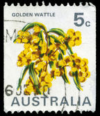 AUSTRALIA - CIRCA 1970 Golden Wattle — Stock Photo