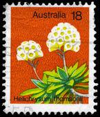 AUSTRALIA - CIRCA 1975 Helichrysum Thomsonii — Stock Photo