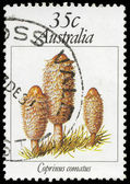 AUSTRALIA - CIRCA 1981 Coprinus — Stock Photo