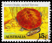 AUSTRALIA - CIRCA 1981 Eastern Snakenecked Tortoise — Stock Photo