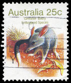 AUSTRALIA - CIRCA 1981 Greater Bilby — Stock Photo