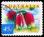 Australien - circa 1999 correa reflexa — Stockfoto
