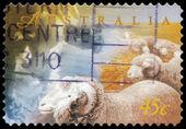 AUSTRALIA - CIRCA 1998 Sheep — Stock Photo