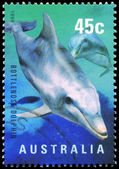 AUSTRALIA - CIRCA 1998 Bottlenose Dolphin — Stock Photo