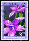 AUSTRALIA - CIRCA 1986 Elythranthera — Stock Photo