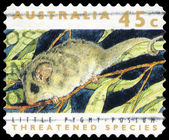 AUSTRALIA - CIRCA 1992 Little Pygmy Possum — Stock Photo