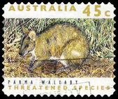 AUSTRALIA - CIRCA 1992 Parma Wallaby — Stock Photo