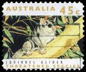 AUSTRALIA - CIRCA 1992 Squirrel Glider — Stock Photo