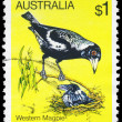 AUSTRALIA - CIRCA 1980 Magpie — Stock Photo