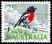 AUSTRALIA - CIRCA 1965 Scarlet Robin — Stock Photo