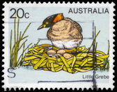 AUSTRALIA - CIRCA 1978 Little Grebe — Stock Photo