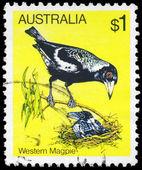 AUSTRALIA - CIRCA 1980 Magpie — Stock Photo