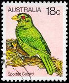 AUSTRALIA - CIRCA 1980 Spotted Catbird — Stock Photo