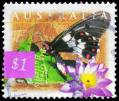 AUSTRALIA - CIRCA 1997 Big Greasy Butterfly — Stock Photo