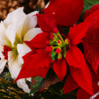 Holly berry flowers — Stock Photo