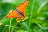 Kelebek — Stok fotoğraf