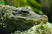 Krokodil — Stockfoto