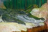 Crocodile — Zdjęcie stockowe